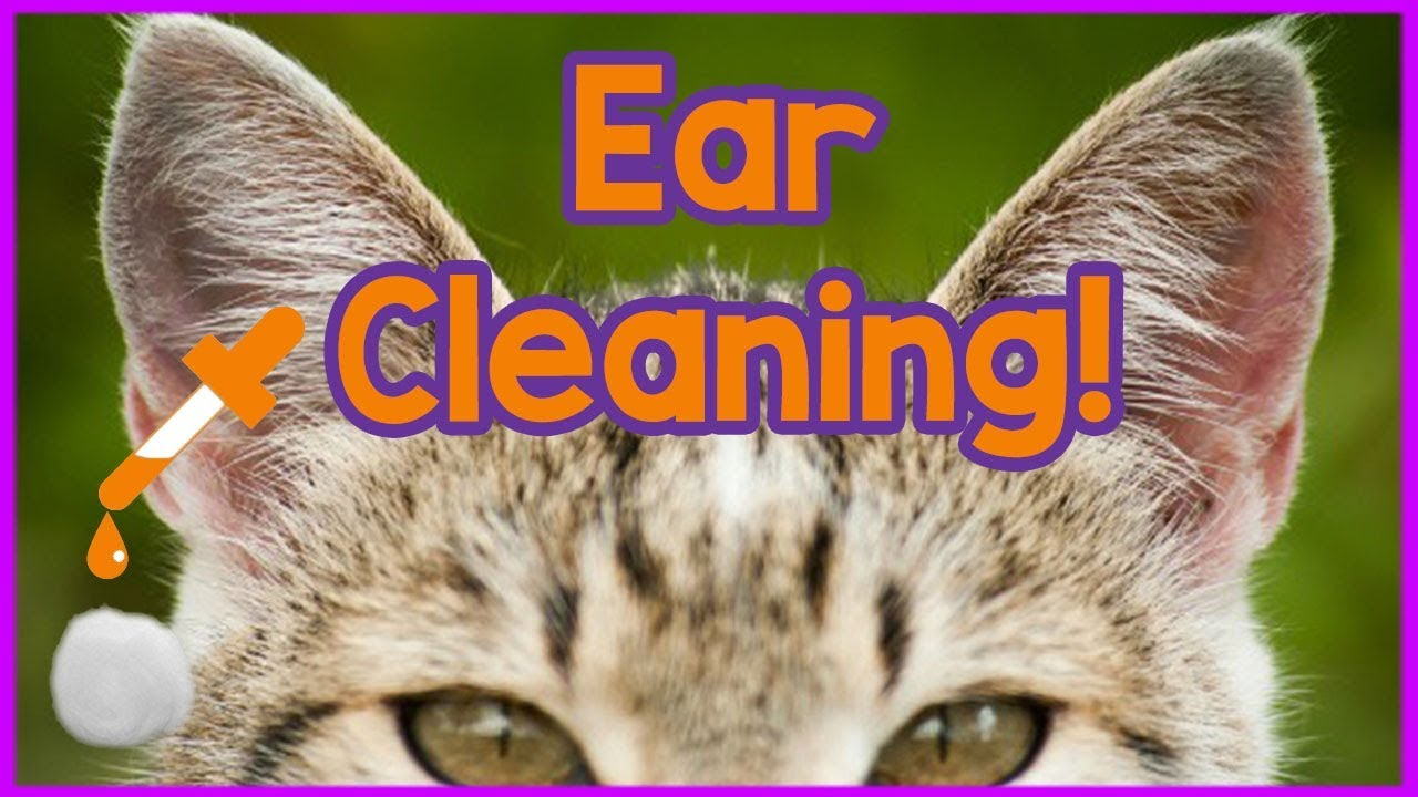 How To Clean Your Cats Ears Easy 3 Step Tutorial On Cleaning Cats Ears Products And How To Youtube