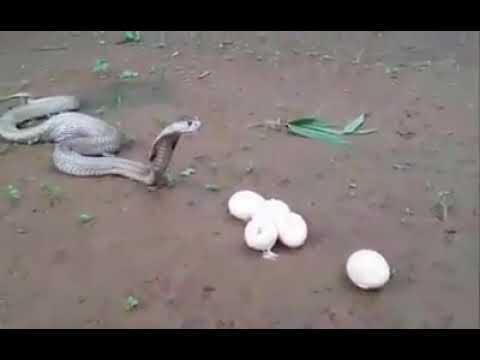 Download cobra snake eating Eggs