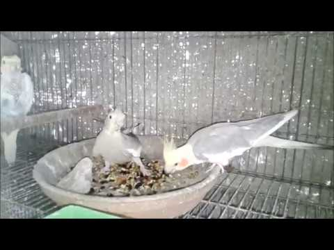 Cocktail Breader Pair In Colony-Best Result.(Part 2)  FOR SALE!!!