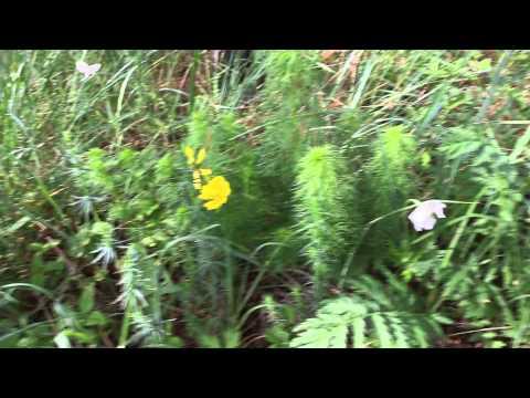 Адонис - Травянистые растения для открытого грунта