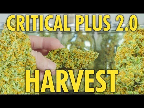 Critical Plus 2.0 Autoflower Harvest and Dry Weight