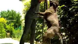 Springpole: Staffordshire Bull Terrier
