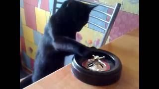 Кот играет в рулетку)