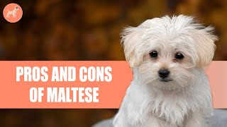 Maltese: Pros & Cons Of This Charming Little Companion
