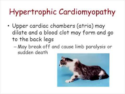 Dr. Kate Meurs: SPHYNX CARDIOMYOPATHY