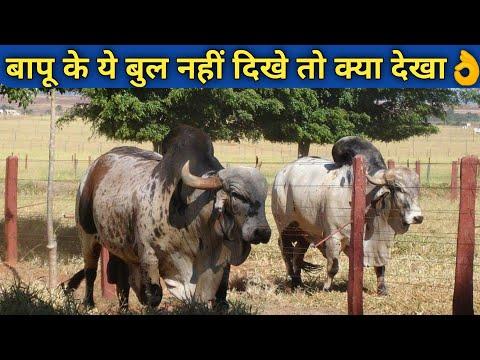 Super Gir Bulls by Pardeep Singh Raol Baapu From Bhavnagar Gujrat India