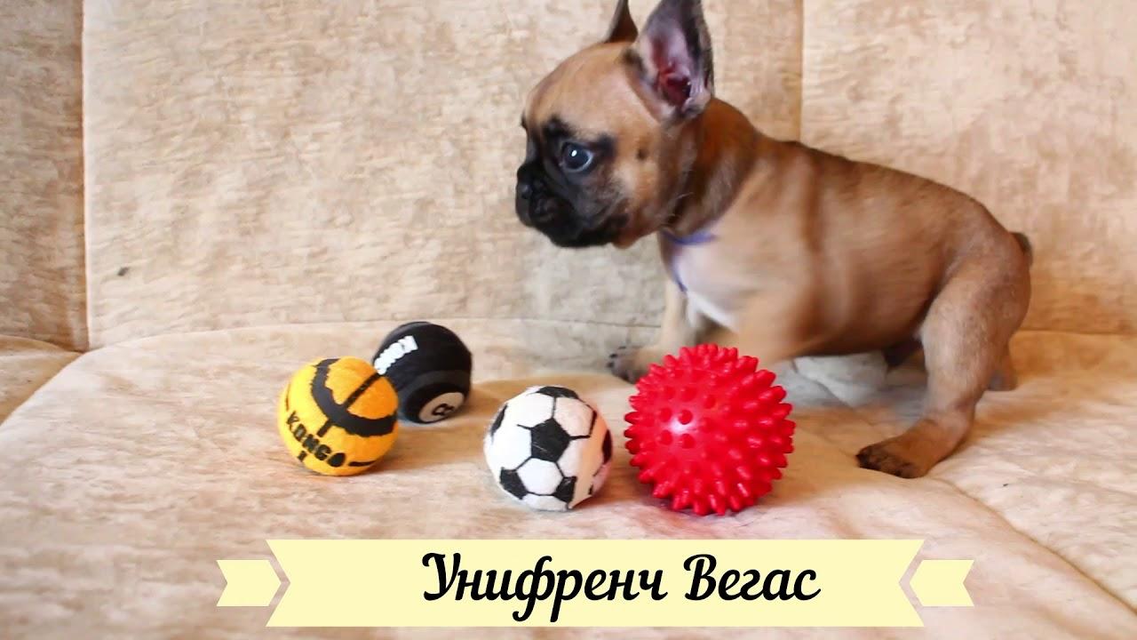 Унифренч Вегас продается щенок французский бульдог