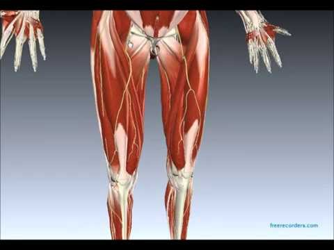 sacral plexus anatomy on model (plus the femoral nerve) - youtube, Muscles