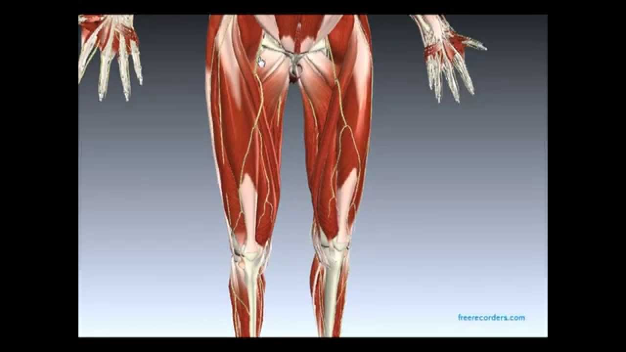 Muscles And Nerves Of Lower Limb Youtube