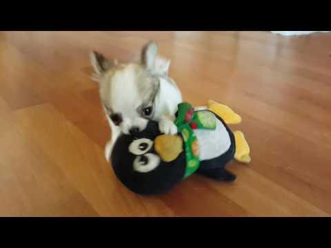 Frankie's tiny boy puppy