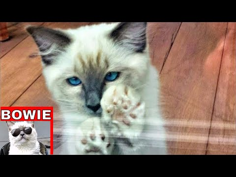 Funny Ragdoll Kitten Playing Compilation (Bowie The Ragdoll Cat)