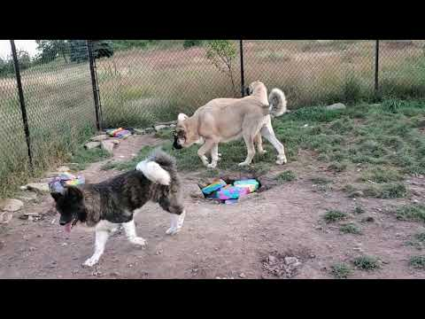 Spanish Mastiff, Caucasian Ovcharka, Akita, Tibetan Mastiff,  Noble Asian Bear & Asian Bear Dog
