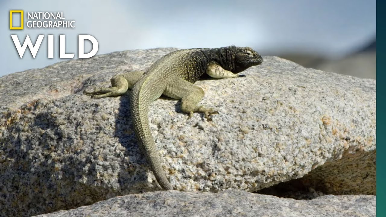Lizards Risk Death For Food | Nat Geo Wild