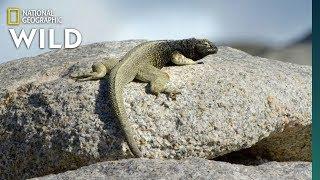 Lizards Risk Death For Food Nat Geo Wild