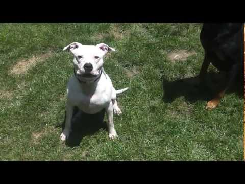 Jessie, American Bulldog/Pitbull Mix Northern NJ  (ADOPTED)