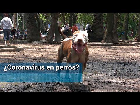 El Coronavirus De Wuhan ¿afecta A Los Perros?