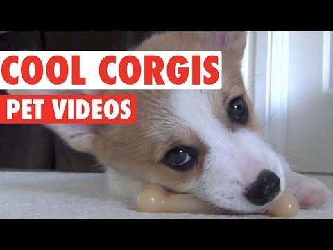 Coolest Corgis Ever Compilation
