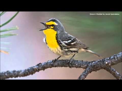 Grace's Warbler Song