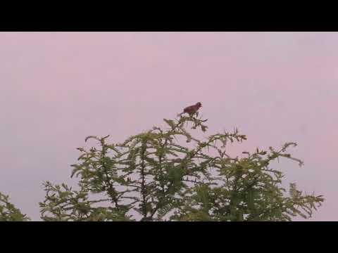 Birdsong in Limpopo