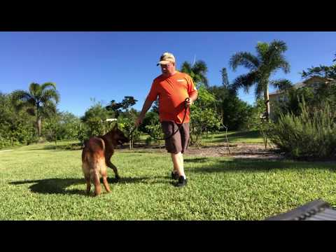 "18 Month Old German Shepherd ""Spark"" | Florida's Best Dog Training | Treasure Coast Dog Training"