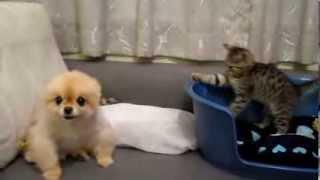 Шкодливый котенок и серьезный щенок