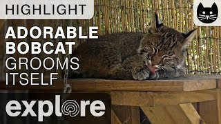 Adorable Bobcat Grooms Itself - Big Cat Rescue Live Cam Highlight 11/01/17