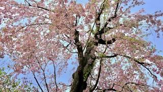 東京都 町田市 庭木剪定の紹介 【枝垂れ桜】