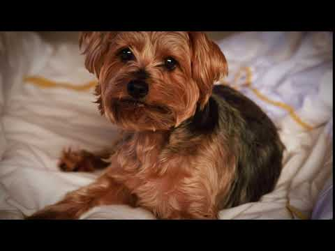 Charlie the Yorkie Norfolk Terrier