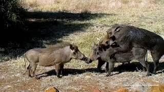 Wild Африка Warthogs copulate like pretend Спаривание бородавочника напоминает имитацию :)