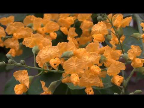 Padauk Pan (National Flower of Myanmar)