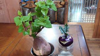 큰고구마와 적콜라비 거실에서 싹 키워심는 방법