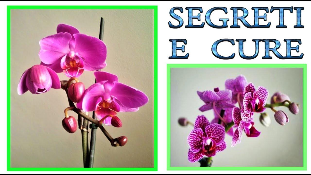 Orchidee Meravigliose Trucchi E Segreti orchidea, tutti i segreti su come curarla, farla fiorire e