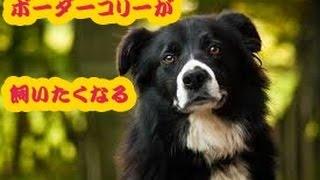 ボーダーコリーが飼いたくなる動画を作りました☆ 人懐っこいのが伝わっ...
