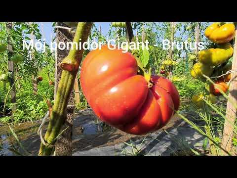 Mój pomidor Gigant