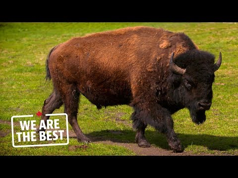 Bison ranching in Alberta: a lifestyle, not a job | We Are The Best