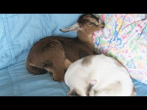 Injured Baby Goat Lives With Family And Gets Loved On By Their Dogs and Cats