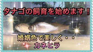 【アクアリウム】タナゴの飼育を始めます!【カネヒラ】