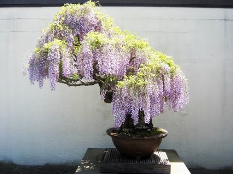 Here Are Some Interesting Facts To Know About Wisteria Bonsai Youtube