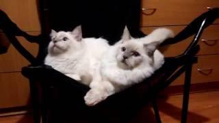 Продается котик породы Ragdoll (кошка-кукла)