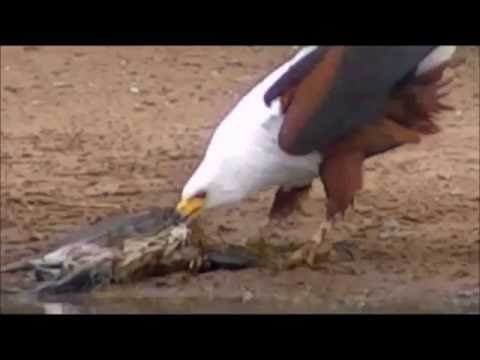 Pete's Pond : African Fish Eagle finishes off the Guinea Fowl for lunch Sept 19, 2016