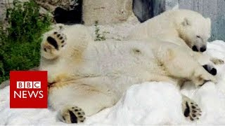 Lapland zoo polar bears enjoy snow gift  BBC News