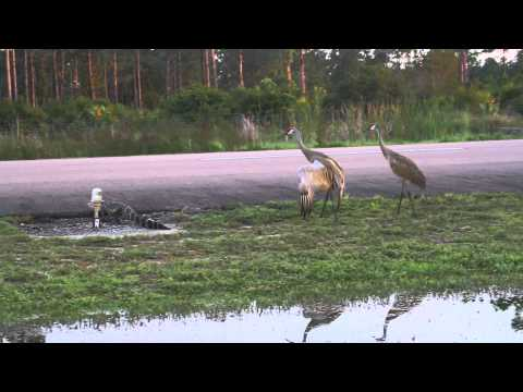 Alligator and Sand Hill Cranes crossing runway