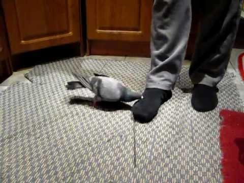 видео: домашний голубь