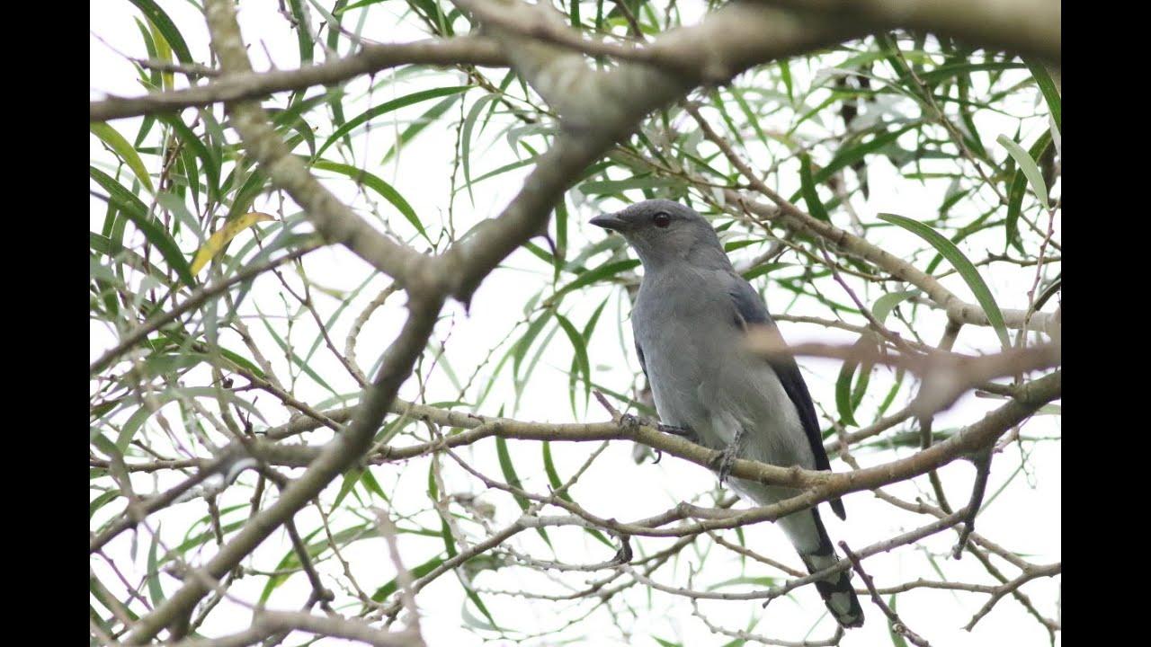 屏東縣的黑翅山椒鳥Coracina melaschistos  (2020 09 24)