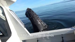 CURIOUS HUMPBACK WHALE DAMAGES WHALE PROTECTION BOAT