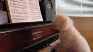 Dogs Play The Piano - Pro Poodle Style!