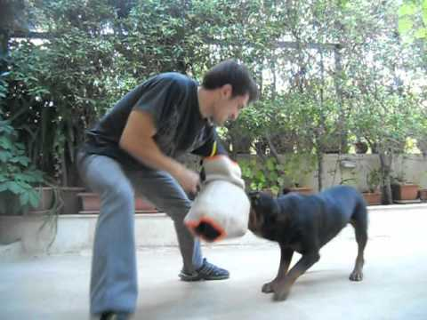 rottweiler-test-biting-the-new-sleeve