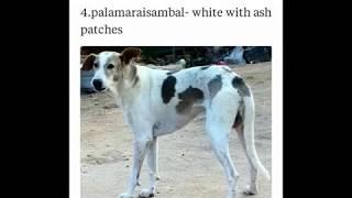 mandai dog types based on colours ramanathapuram indian dog breed