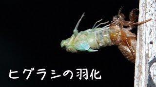 ヒグラシの羽化シーンです。 撮影は2013年 7月17日。 場所は愛媛...