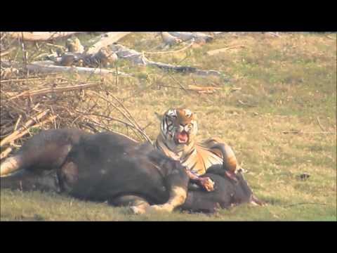 Tiger at Nagarhole National Park, India  Feb 18, 2015